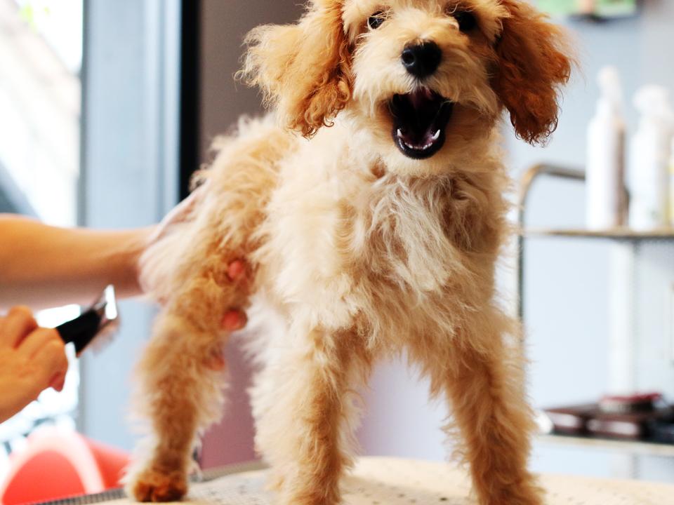 グルーミング中の仔犬のトイプードル、リオちゃん